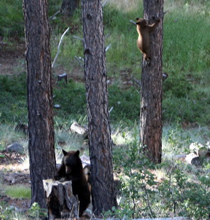 Forest Lakes Bears